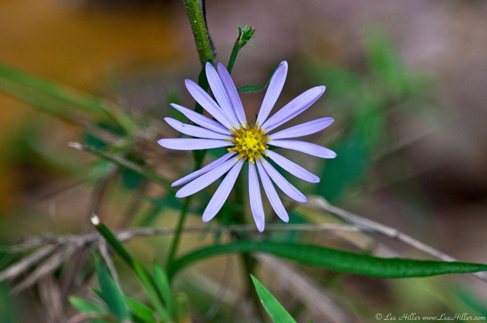 HSNP West Mt Oak Trail Autumn Aster