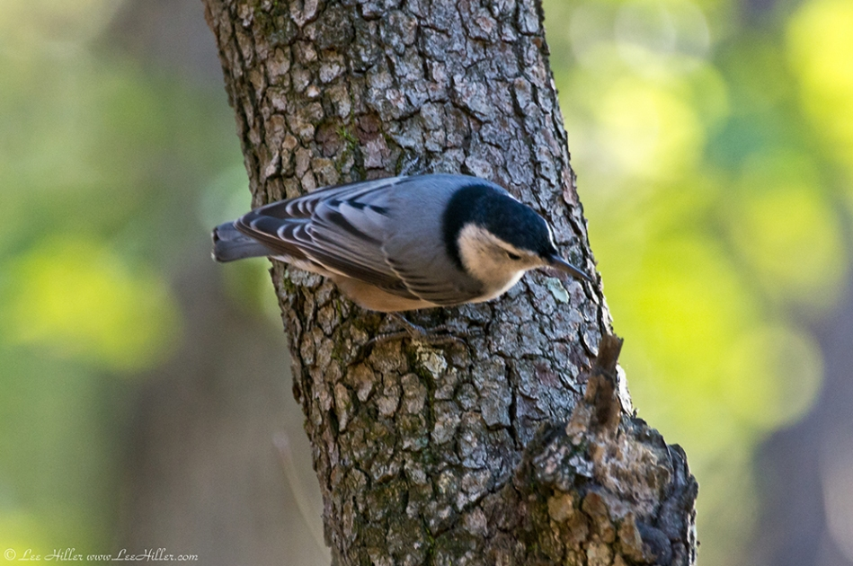 HSNP Hot Springs Mt Trail White breasted Nuthatch