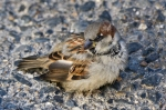 Lake Ouachita State Park House Sparrow