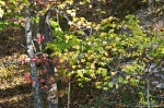 HSNP Hot Springs Mountain Rd Autumn Sweet Gum