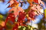 HSNP Hot Springs Maple Tree Autumn Leaves