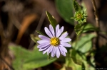 HSNP West Mountain Trail Aster