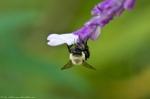 Garvan Woodland Gardens Bee