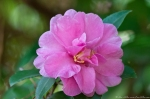 Garvan Woodland Gardens Camellia