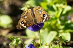 Garvan Woodland Gardens Common Buckeye Butterfly