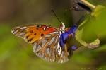 Garvan Woodland Gardens Fritillary Gulf Butterfly