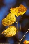 Garvan Woodland Gardens Hixon Preserve Leaves