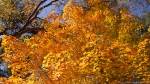 Garvan Woodland Gardens Orange Maple Autumn Leaves