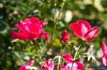 Garvan Woodland Gardens Red Roses