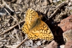 Lake Ouachita Caddo Bend Trail Variegated Fritillary Butterfly