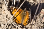 Lake Ouachita Caddo Bend Trail Painted Lady Butterfly