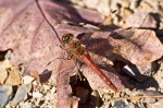 Lake Ouachita Caddo Bend Trail Red Dragonfly