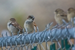 HSNP House Sparrows on the fence