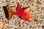 HSNP Sweetgum Leaf at Fountain Autumn