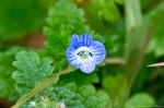 HSNP Carriage Rd Birds eye Speedwell