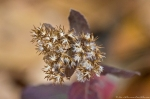 HSNP Dead Chief Trail Goldenrod Seeds