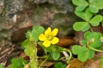 HSNP Dead Chief Trail Yellow Oxalis