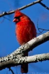 HSNP Tufa Terrace Trail Male Cardinal