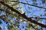 HSNP Lower Dogwood Trail Red Bellied Woodpecker