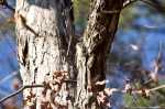 HSNP Hot Springs Mt Trail Red Bellied Woodpecker