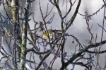 HSNP Carriage Road Snow Yellow Rumped Warbler