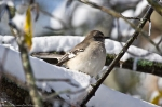 HSNP Dead Chief Trail Snow Mockingbird