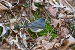 HSNP Fountain Street Junco