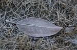 HSNP Arlington Lawn Frosty Leaf