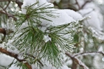 HSNP Floral Trail Snow On Pine Needles