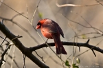 HSNP Carriage Rd Male Cardinal