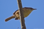 HSNP Fountain St Lawn Lawn Carolina Wren