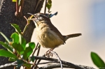 HSNP Fountain St Lawn Carolina Wren