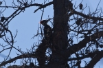 HSNP Honeysuckle Trail Pileated Woodpecker