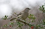 HSNP Mockingbird