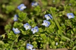 HSNP Carriage Road Birdseye Speedwell