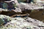 HSNP Goat Rock Trail Male Prairie Lizard