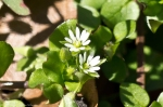 HSNP North Mt Loop Star Chickweed