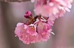 Cherry Blossoms Hot Springs Arkansas 2013