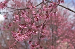 Cherry Blossoms Hot Springs Arkansas 2013