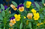 Pansies Hot Springs Arkansas 2013