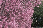 Cherry Blossoms 2013 Hot Springs Arkansas