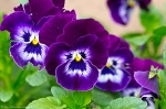 Pansies 2013 Hot Springs Arkansas