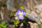 HSNP Hot Springs Mt Trail Field Pansy