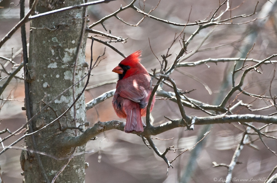 HSNP Hot Springs Mt Trail Male Cardinal