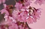 Hot Springs, AR Japanese Cherry Blossoms