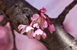 Hot Springs, AR Japanese Cherry Blossoms