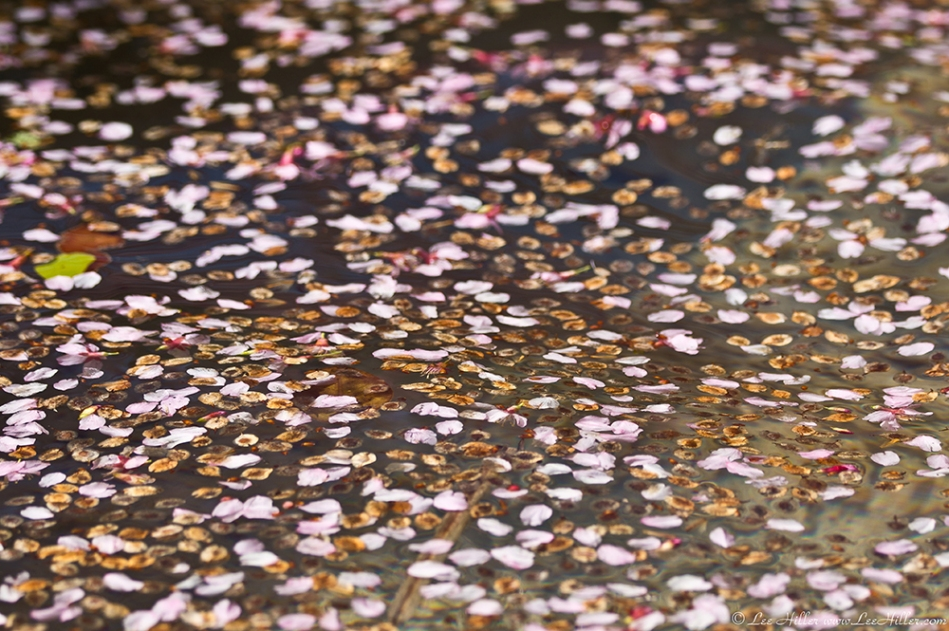 Hot Springs, AR Cherry Blossom Petal on Water