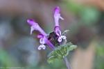HSNP Floral Trail Henbit