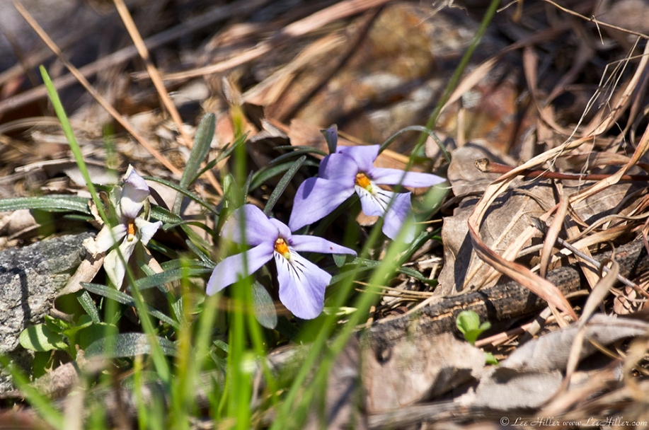 HSNP Goat Rock Trail Birds-Foot Violet