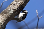 HSNP Goat Rock Trail Female Downy Woodpecker